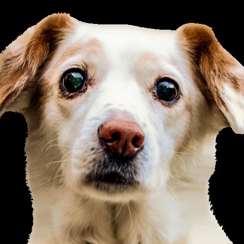 Pet Dog 2